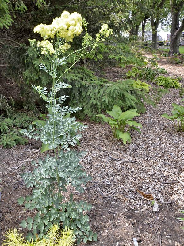 World plants for Thalictrum rochebrunianum rhs